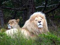 Rare white lions (panthera leo) at Inkwenkwezi game reserve, South Africa.