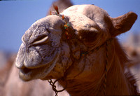 Camel with an arrogant attitude..