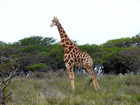 Giraffe at Inkwenkwezi private game reserve, South Africa