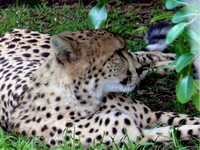 This one of four Cheetahs at Inkwenkwezi.