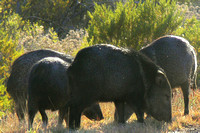 Small herd of javelinas in Big Bend National Park, West Texas