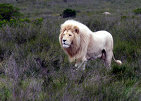 Rare white lions at Inkwenkwezi game reserve, South Africa