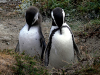 Two penguins praying.