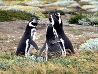 Four penguins singing