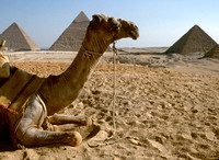 Camel and view of the Giza Pyramids.